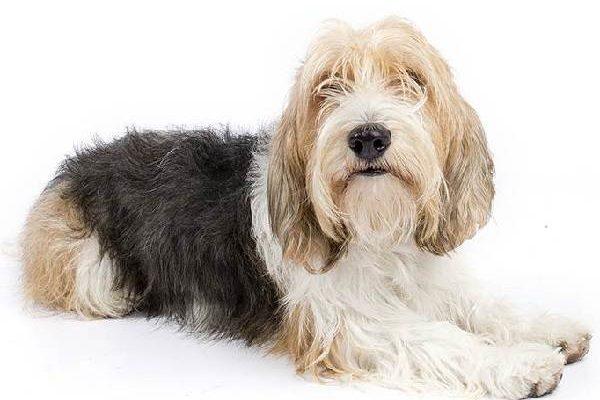 Вандейский бассет-гриффон большой - 101 собака
