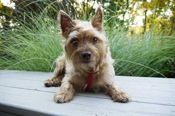 Тибетская порода собак ши-тцу