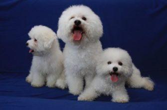 Собаки которые не линяют - породы для аллергиков и не только