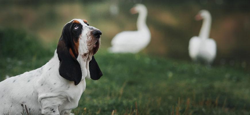 Бассет хаунд собака. Описание, особенности, уход и цена бассет хаунда |