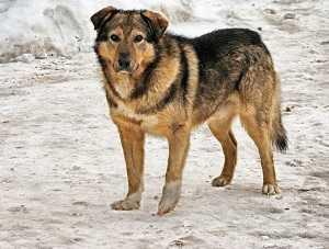 Дворняга собака: описание, повадки, мифы, содержание, дрессировка