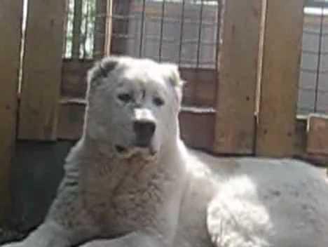 Алабай — описание породы собаки от А до Я
