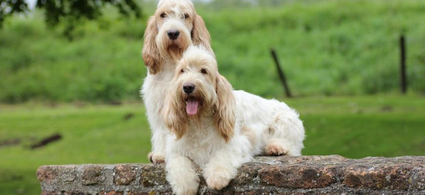 О породах собак №129. Бассеты, часть 2. Французские бассеты   Пикабу