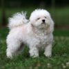 Болонка описание породы и характеристики, уход, характер, фото собаки
