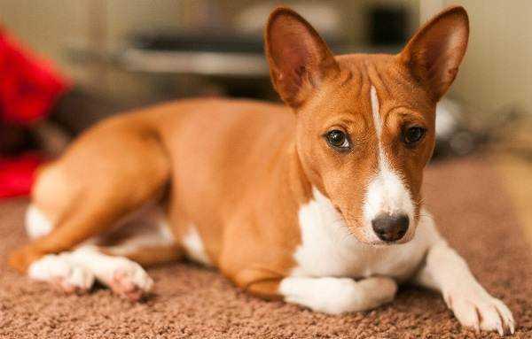 Басенджи собака: описание породы, отзывы, цена и где купить щенка | PetGuru