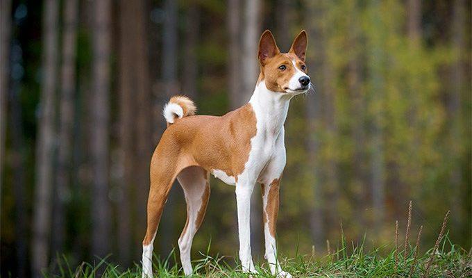 Басенджи (44 фото): описание африканской породы, характер нелающей собаки. Выбор одежды для щенков. Отзывы владельцев