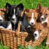 Басенджи собака. Описание, особенности, уход и цена породы басенджи |