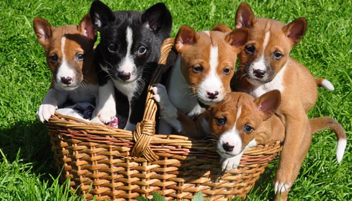 Басенджи собака. Описание, особенности, уход и цена породы басенджи  