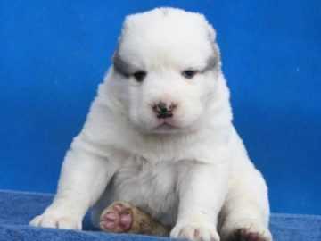 Чем кормить алабая: рацион щенков и взрослой собаки