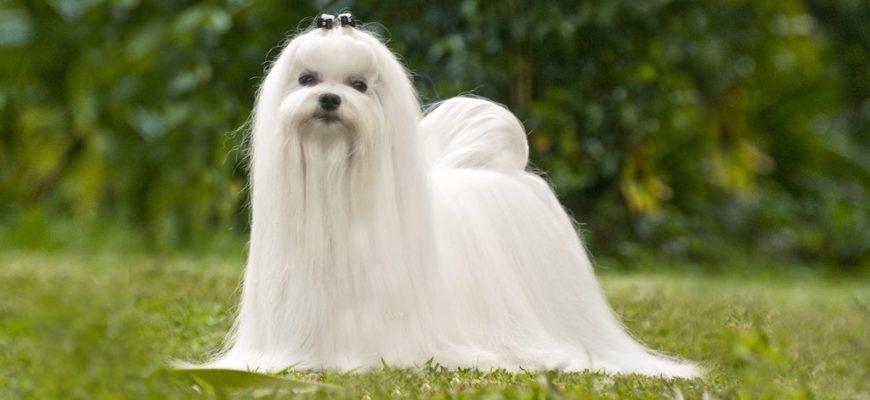 Мальтийская болонка(мальтезе) собака фото, описание породы, цена щенка, отзывы