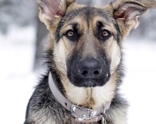 Первая собака из приюта) Бассет хаунд по кличке Босс) | Пикабу
